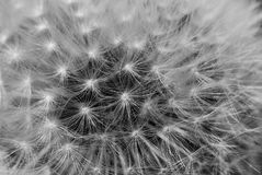 Fire dandelion Royalty Free Stock Photography