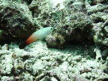 Fire dart fish. Fire dartfish in destroyed coral rubble reef, Nemateleotris magnifica royalty free stock photos