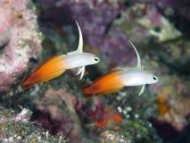 Fire dart fish. In Bali sea (Indonesia Stock Photography