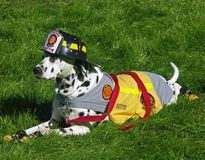 Fire Department Dalmation Mascot. A dalmatian dog dressed in a fire department mascot costume, complete with fireman's helmet stock images