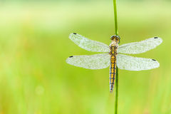 An Fire dragonfly Royalty Free Stock Photography