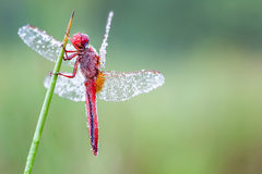 An Fire dragonfly Stock Image