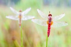 An Fire dragonfly Stock Photos
