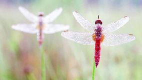 An Fire dragonfly stock footage