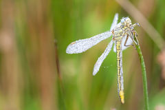 An Fire dragonfly Royalty Free Stock Photos