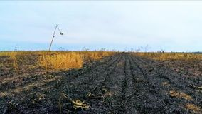 After the fire on the field. Scorched earth and the remaining part with untouched fire plants stock video