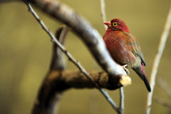 Fire Finch. Perching on a branch against blurred background Stock Image