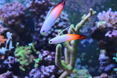 Fire fish goby in marine aquarium tank Stock Images