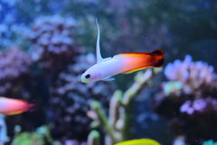 Fire fish goby in marine aquarium tank Royalty Free Stock Photo