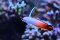 Fire fish goby in marine aquarium tank Royalty Free Stock Image
