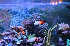 Fire fish goby in marine aquarium tank Royalty Free Stock Images