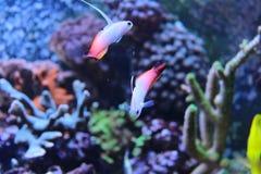 Fire fish goby in marine aquarium tank Stock Photos
