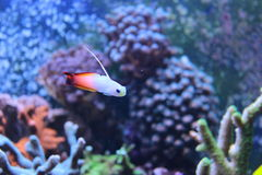 Fire fish goby in marine aquarium tank Stock Image