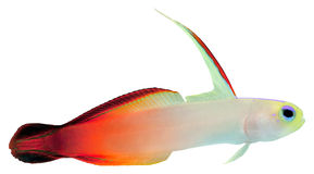Fire Fish (Magnificent Hover Goby) Royalty Free Stock Photo