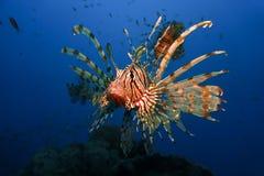 Fire Fish Stock Image