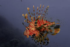Fire Fish Royalty Free Stock Photo