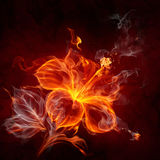 Fire flower. Burning hibiscus flower on black background Stock Photos