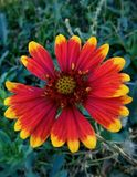flower of red and orange color Stock Photo