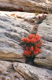 Fire Flower in Crevace. Small fire flower plant growing inbetween rocks royalty free stock images