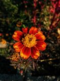 Flower of orange and red color. Red and orange flower Stock Photos