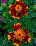 Flowers of orange and red color. Bright orange flowers Royalty Free Stock Images
