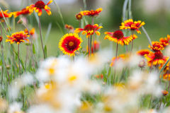 Fire flowers and dandelions in nature Stock Images