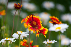 Fire flowers and dandelions in nature Stock Photography