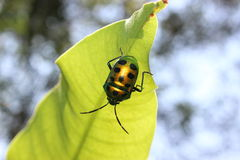 Fire Fly Royalty Free Stock Images