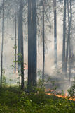 Fire in the forest. Fire in the pine tree forest royalty free stock image