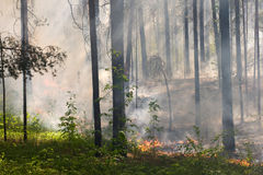 Fire in the forest. Fire in the pine tree forest Stock Images