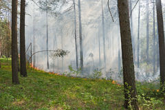 Fire in the forest. Fire in the pine tree forest Stock Photography