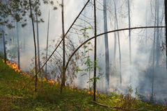 Fire in the forest. Fire in the pine tree forest royalty free stock photography