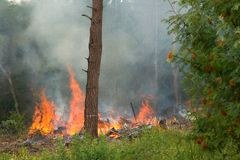 Fire in the forest. Large flames in the mixed forest in the European part of Russia Stock Image