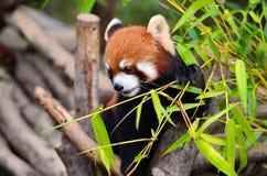 Fire fox Stock Image