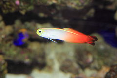 Free Fire Goby Royalty Free Stock Photo - 38102355