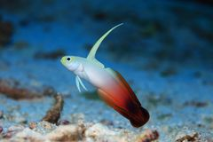 Fire goby Royalty Free Stock Photography