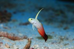 Fire goby Royalty Free Stock Photo