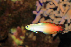 Fire goby Stock Image
