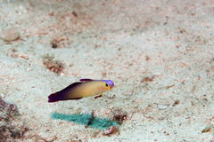 Fire goby swimming Stock Photo