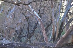 After the Fire. Gum trees by the river after a fire has gone through Stock Photo
