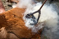 Fire-heated branding iron being used on a calf. Fire-heated branding iron being used to brand a calf on its flank with resulting smoke as his skin and hair burn stock image