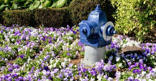 Fire Hydrant in Flowers. Blue painted fire hydrant in a field of vivid flowers royalty free stock photography
