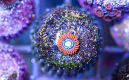 Fire and ice ausi zoa on frag plug stone in frag coral tank. Stock Images