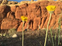 Fire and ice. Hard red cliffs behind soft tender wild flowers Royalty Free Stock Photo