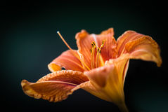 Fire lilies Stock Images