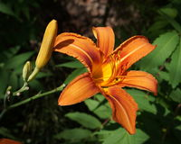 Fire Lily flower Royalty Free Stock Image