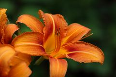 Fire Lily (Lilium bulbiferum) Stock Images