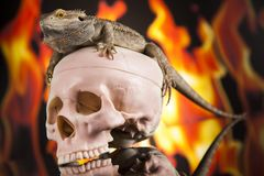 Fire lizard, agama on black mirror background. Lizard, Fire agama on black mirror background stock images