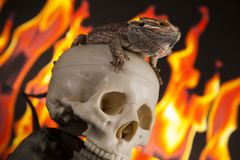 Fire lizard, agama on black mirror background. Lizard, Fire agama on black mirror background stock photo