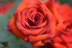 Fire miracle of nature. Fire rose is the most charming flower in any garden. It is a miracle of nature, delicate creature royalty free stock photos